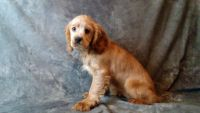American Cocker Spaniel Puppies for sale in East Sparta, OH, USA. price: NA