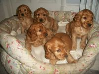 American Cocker Spaniel Puppies for sale in 58503 Rd 225, North Fork, CA 93643, USA. price: NA