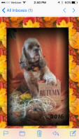 American Cocker Spaniel Puppies for sale in Lakeland, FL, USA. price: NA