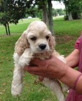 American Cocker Spaniel Puppies for sale in Los Angeles, CA 90017, USA. price: NA