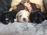 American Cocker Spaniel Puppies for sale in San Diego, CA, USA. price: NA