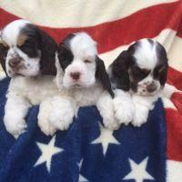 American Cocker Spaniel Puppies for sale in Abilene, Houston, TX 77020, USA. price: NA