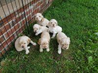 American Cocker Spaniel Puppies for sale in Murfreesboro, TN, USA. price: NA