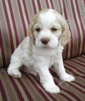 American Cocker Spaniel Puppies for sale in Denver, CO, USA. price: NA