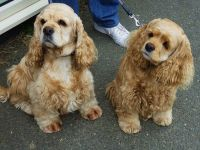 American Cocker Spaniel Puppies for sale in Allen St, New York, NY 10002, USA. price: NA