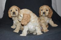 American Cocker Spaniel Puppies for sale in New Castle, PA, USA. price: NA