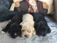 American Cocker Spaniel Puppies for sale in Erie, PA, USA. price: NA