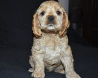 American Cocker Spaniel Puppies for sale in Florence St, Denver, CO, USA. price: NA