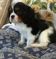 American Cocker Spaniel Puppies for sale in Jacksonville, FL, USA. price: NA