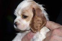 American Cocker Spaniel Puppies for sale in Edison, NJ, USA. price: NA