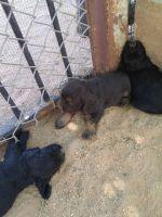 American Cocker Spaniel Puppies for sale in Tucson, AZ, AZ, USA. price: NA