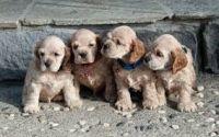 American Cocker Spaniel Puppies for sale in Chicago, IL, USA. price: NA