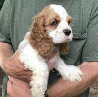 American Cocker Spaniel Puppies for sale in Greenwood, DE 19950, USA. price: NA