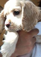 American Cocker Spaniel Puppies for sale in Stockton, CA, USA. price: NA