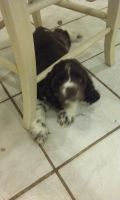 American Cocker Spaniel Puppies for sale in Eclectic, AL 36024, USA. price: NA