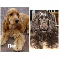 American Cocker Spaniel Puppies for sale in New Port Richey, FL, USA. price: NA