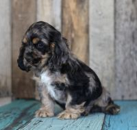 American Cocker Spaniel Puppies for sale in Hopkins, SC 29061, USA. price: NA