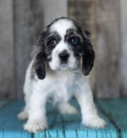 American Cocker Spaniel Puppies for sale in Beverly Hills, CA, USA. price: NA