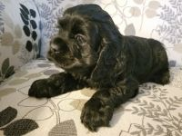 American Cocker Spaniel Puppies for sale in Petersburg, IN 47567, USA. price: NA