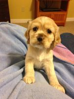 American Cocker Spaniel Puppies for sale in Goldsboro, NC, NC, USA. price: NA