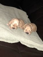 American Cocker Spaniel Puppies for sale in Charlotte, NC, USA. price: NA