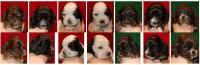 American Cocker Spaniel Puppies for sale in Sarasota, FL, USA. price: NA