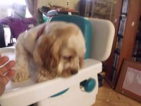 American Cocker Spaniel Puppies for sale in Pine City, MN 55063, USA. price: NA