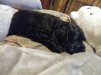 American Cocker Spaniel Puppies for sale in Spartanburg, SC, USA. price: NA