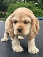 American Cocker Spaniel Puppies for sale in Martinsville, IN 46151, USA. price: NA