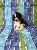 American Cocker Spaniel Puppies for sale in Versailles, MO 65084, USA. price: NA
