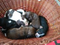 American Cocker Spaniel Puppies for sale in Lawrenceburg, KY 40342, USA. price: NA