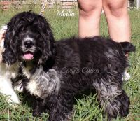 American Cocker Spaniel Puppies for sale in Elkland, MO 65644, USA. price: NA