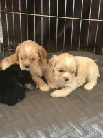 American Cocker Spaniel Puppies for sale in Redford Charter Twp, MI, USA. price: NA