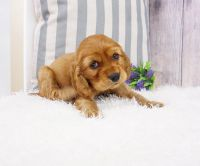 American Cocker Spaniel Puppies for sale in Las Vegas, NV 89113, USA. price: NA