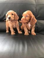 American Cocker Spaniel Puppies for sale in Detroit, MI, USA. price: NA