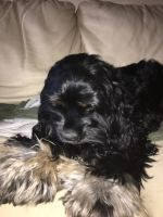 American Cocker Spaniel Puppies for sale in Plano, TX 75074, USA. price: NA
