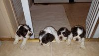 American Cocker Spaniel Puppies for sale in Savannah, TN 38372, USA. price: NA