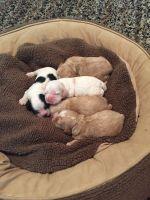 American Cocker Spaniel Puppies for sale in Elizabethton, TN, USA. price: NA