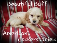 American Cocker Spaniel Puppies for sale in Conyers, GA, USA. price: NA