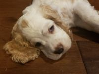 American Cocker Spaniel Puppies for sale in Selma, TX 78154, USA. price: NA