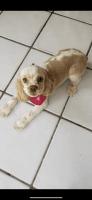 American Cocker Spaniel Puppies for sale in Miami, FL, USA. price: NA