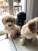 American Cocker Spaniel Puppies for sale in Antelope, CA, USA. price: NA