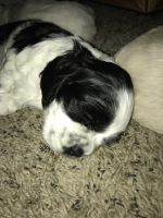 American Cocker Spaniel Puppies for sale in Howell, MI, USA. price: NA