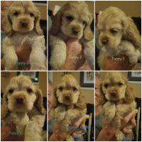 American Cocker Spaniel Puppies for sale in Orlando, FL, USA. price: NA