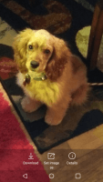 American Cocker Spaniel Puppies for sale in Las Vegas, NV, USA. price: NA