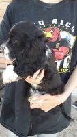 American Cocker Spaniel Puppies for sale in Willcox, AZ 85643, USA. price: NA