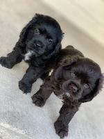 American Cocker Spaniel Puppies for sale in Austin, TX, USA. price: NA