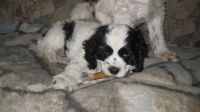 American Cocker Spaniel Puppies for sale in Birchwood, WI 54817, USA. price: NA