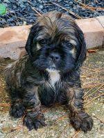 American Cocker Spaniel Puppies for sale in Arlington, TX, USA. price: NA