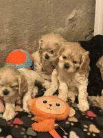 American Cocker Spaniel Puppies for sale in Barrington, RI, USA. price: NA